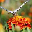Swallowtail butterfly on an orange flower — Stock Photo