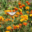 Swallowtail butterfly on an orange flower — Stock Photo #13765229