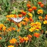 Swallowtail butterfly on an orange flower — Stock Photo #13765229