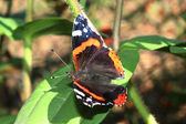 Macro of a red admiral butterfly — Foto de Stock