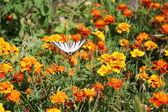 Swallowtail butterfly on an orange flower — Stock Photo