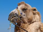 Camel thorns to eat — Stock Photo