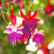 Fuchsia red flower - Stock Photo