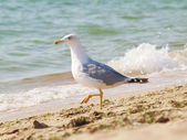Seagull on the sand by the sea — Stock Photo