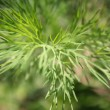 Dill in the garden — Stock Photo #14189792