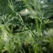 Dew on dill — Stock Photo