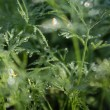 Dew on dill — Stock Photo #14189825