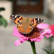 Butterfly painted lady and flower Pink Zinnia — Stock Photo #14190294