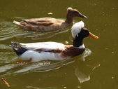 Couple tufted ducks swimming on the lake. — Stock Photo