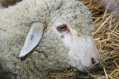 Portrait of a sheep — Stock Photo