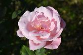 Rose, роза — Stock Photo
