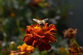 Fly collects nectar, муха собирает нектар — Stock Photo