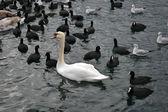 Swans — Stock Photo