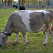 Foto Stock: Cow beige