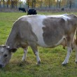 Foto de Stock  : Cow beige