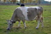 Cow beige — Foto Stock