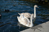 A young grey Swan — Stock Photo