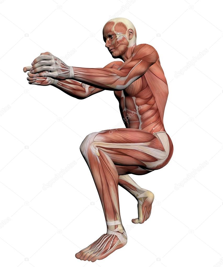 人体解剖学-男性肌肉图片