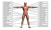 High resolution concept or conceptual 3D human anatomy — Stock Photo