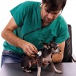 Vet examining a chihuahua dog with a stethoscope — ストック写真