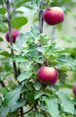 Red apples on a branch — Stock Photo