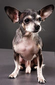 Cute chihuahua dog — Stock Photo