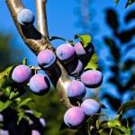 mogna plommon på trädet — Stockfoto