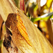 Mature corn shortly before harvest — Stock Photo #33555177