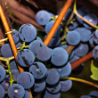 Stock Photo: Bunches of grapes