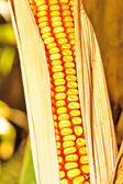Corn ready to be harvested — Foto de Stock