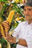 Old man harvesting corn — Stock Photo