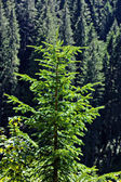 Young pine tree — Stock Photo