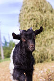 Portrait of a cute baby goat  — Stock Photo