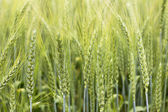 Closeup of green wheat ear on the field   — 图库照片