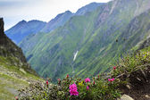 Beautiful landscape with pink rhododendron flowers on the mounta — Stock Photo