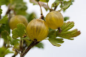 Gooseberry. — Stock Photo