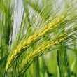 Stock Photo: Green barley.