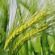 Green barley. — Stock Photo