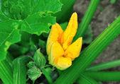 Zucchini flower. — Stock Photo