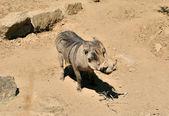 Warthog. — Stock Photo