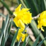 Daffodil flower — Stock Photo #17859265
