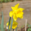 Daffodil flower — Stock Photo