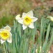 Daffodil flower — Stock Photo #17859287