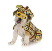 Sherlock holmes puppy — Stock Photo