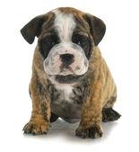 Cute puppy — Stock Photo