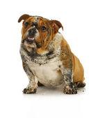 Dirty dog — Stock Photo