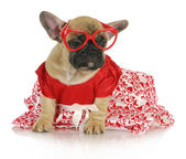 Female french bulldog — Stock Photo