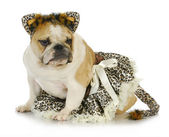 Dog dressed up like a cat — Foto Stock