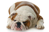 Grumpy dog — Stock Photo