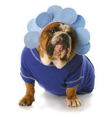 Dog dressed up like a flower — Stock Photo